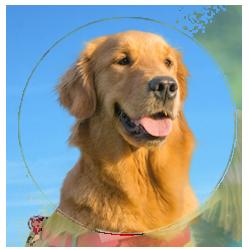 Sooner Golden Retriever Rescue Okc Pet Adopt