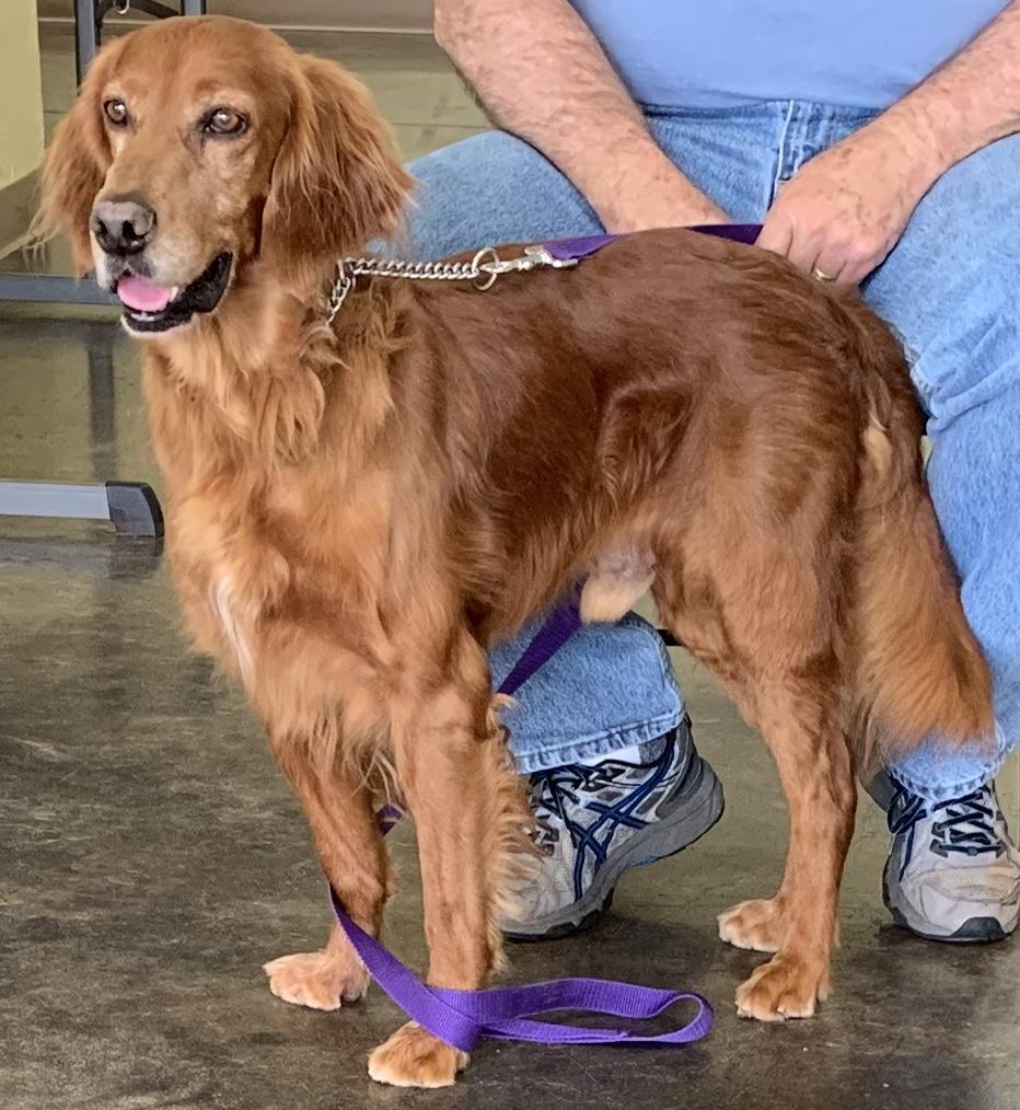 Sooner Golden Retriever Rescue | OKC Pet Adopt