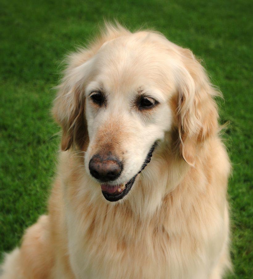 Goldie *Adoption Pending*